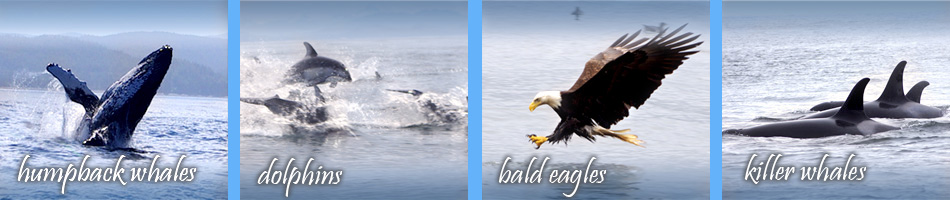 see humpback whales, dolphins, bald eagles, killer whales with star fish charters